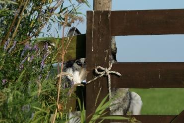 De kans dat je in de Krimpenerwaard, bijvoorbeeld hier langs de Tiendweg bij Gouderak, een wolf tegen het lijf loopt, is klein.